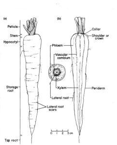 Rootdiagram